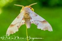 eikenpijlstaart_oak_hawk-moth_marumba_quercus1_20141218_1991101220