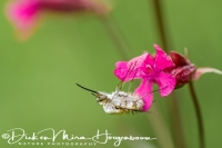 wolzwever_large_bee-fly_bombylius_major_20141218_1386245285