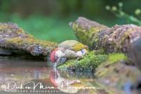 groene_specht_green_woodpecker_picus_viridis2_20141218_1295956942