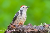 middelste_bonte_specht_middle_spotted_woodpecker_dendrocopos_medius2_20141218_1920957718