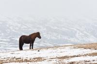 ijslands_paard_icelandic_horse_20141219_2057398316