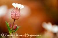 blaassilene_bladder_campion_silene_vulgaris_20141219_1573630828