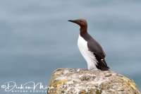 zeekoet_common_guillemot_uria_aalge_20141219_1243335863