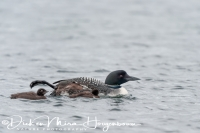 ijsduiker_great_northern_diver_gavia_immer_4_20141219_1967182216