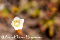 parnassia_marsh_grass_parnassia_palustris_1_20141219_2056671548