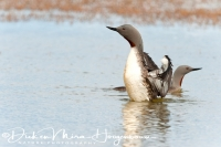 roodkeelduiker_red-throated_diver_gavia_stellata_5_20141219_1405913435