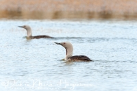 roodkeelduiker_red-throated_diver_gavia_stellata_20141219_1191332582
