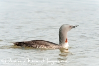 roodkeelduiker_red-throated_diver_gavia_stellata_2_20141219_1586465677