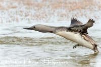 roodkeelduiker_red-throated_diver_gavia_stellata_3_20141219_1900335817