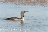 roodkeelduiker_red-throated_diver_gavia_stellata_1_20141219_1336687402