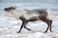rendier_op_pad_-_reindeer_walking_-_rangifer_tarandus__20150224_1005062558
