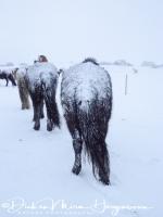ijslanders_met_de_kont_in_de_sneeuw_-_icelandic_horses_in_snowstorm_20150224_1087805376