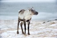 rendier_portret_-_reindeer_close-up_-_rangifer_tarandus_20150224_1889837309