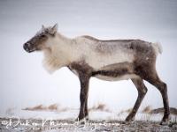 rendier_op_pad_-_reindeer_walking_-_rangifer_tarandus__20150224_1755836479