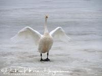 wilde_zwaan_-whooper_swan_spreading_its_wings_cygnus_cygnus__20150224_1527022609