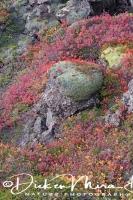 lavaveld_met_mos_en_dwergberk_-_lava_field_with_moss_and_dwarf_birch_-_lava_mit_moos_und_zwerg_birke__20161009_2033465860