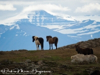 ijslandse_paarden_op_hun_plek_-_icelandic_horses_on_the_right_spot_-_island_pferden_am_ihre_platz_20170625_1550064039