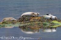 zeehonden_-_seals_-_hundsrobben_-_phocidae_20170625_1916699452