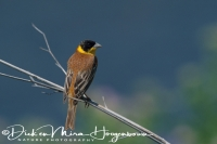 zwartkopgors_black-headed_bunting_emberiza_melanocephala_20141219_2057724589
