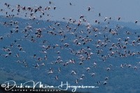 flamingo_greater_flamingo_phoenicopterus_ruber_20141219_2034568490