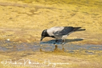 bonte_kraai_carrion_crow_corvus_corone_cornix_20141219_1195095905