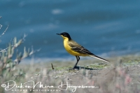 balkankwikstaart_black-headed_wagtail_motacilla_flava_feldegg_michahelles_man_male_20141219_1114018854