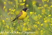 zwartkopgors_black-headed_bunting_emberiza_melanocephala1_20141219_1919018580