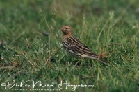 roodkeelpieper_red-throated_pipit_anthus_cervinus_20141219_1070428360