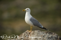 geelpootmeeuw_-_yellow-legged_gull_-_larus_cachinnans_20150527_1337287809