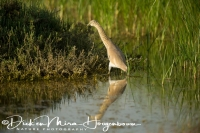 ralreiger_-_squacco_heron_-_ardeola_ralloides_foraging_20150527_1585454997