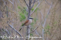 grauwe_klauwier_-_red-backed_shrike_-_lanius_collurio_20150527_1913581504