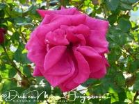 roos_-_rose_20150527_1440198579
