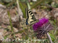 koninginnepage_-_swallowtail_-_papilio_machoon_20150527_2057738919