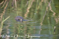 schildpad_zwemmend_-_swimming_turtle_20150527_1840664703