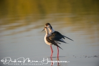 steltkluut_-_black-winged_stilt_-_himantopus_himantopus_in_love_20150527_1838228265