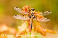 viervlek_-_four-spotted_chaser_-_libellula_quadrimaculata_20150113_1057463524
