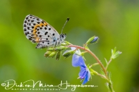 vetkruidblauwtje_-_chequered_blue_butterfly_-_scolitantides_orion_20150113_1844363795