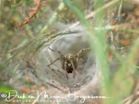 doolhofspin_-_labyrinth_spider_-_agelena_labyrinthica_20150113_1428455065