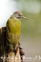 groene_specht_green_woodpecker_picus_viridus_20141220_2073768235