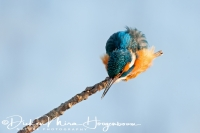 ijsvogel_common_kingfisher_alcedo_atthis_2_20141220_1218272917