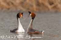 fuut_great_crested_grebe_podiceps_cristatus_4_20141220_1932803583