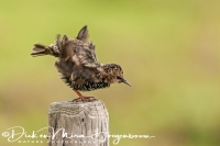 spreeuw_common_starling_sturnus_vulgaris_20141220_1371096409