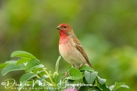 roodmus_common_rosefinch_carpodacus_erythrinus_1_20141220_1615533663