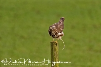 buizerd_common_buzzard_buteo_buteo_20141220_1787238716