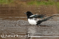 ekster_magpie_pica_pica_20141220_1288436664