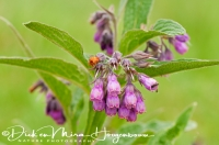 smeerwortel_common_comfrey_symphytum_officinale_20141220_1106567832