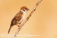 ringmus_tree_sparrow_passer_montanus_20141220_1870033640