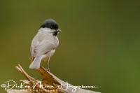 glanskop_marsh_tit_parus_palustris_20141220_1912052801