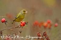 groenling_greenfinch_carduelis_chloris_20141220_1604332930