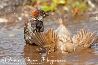 huismus_house_sparrow_passer_domesticus_20141220_1472542794